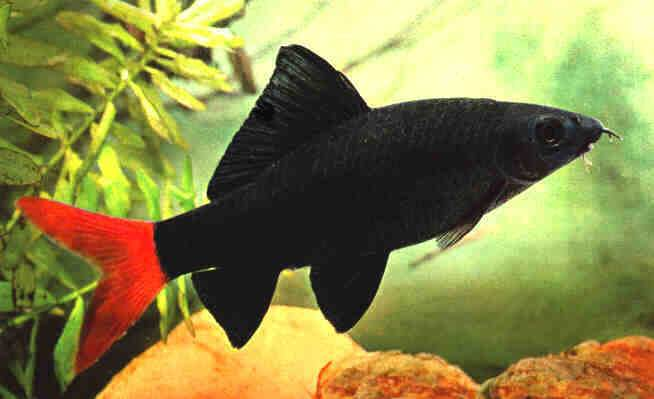 Red Tail Black Shark - Epalzeorhynchos bicolor
