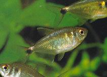 Head & Tail light Tetra - Hemigrammus ocellifer